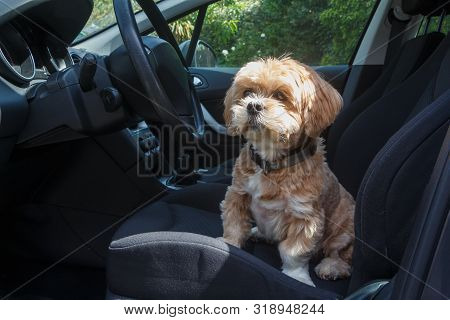 Lhasa Apso Dog Sitting On The Front Seat Of A Car