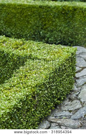 Buxus Sempervirens, Box Clipped Hedge In A Formal Garden, Uk