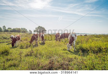 Backlit Image Of Young Red And White Cows Grazing On The Floodplains Of The Dutch River Waal Near Th