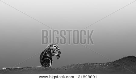 Ground squirrel feeding in desert (Artistic processing)