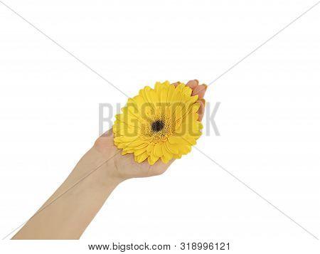 Female Hand Manicure Gerbera Flower Isolated Beauty