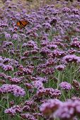 An orange monarch butterfly on a field of purple flowers. poster