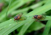 17 year cicada on green leafy foliage poster