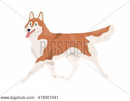 Akita Inu Walking With Tongue Hanging Out. Smiling Adorable Doggy. Happy Alaskan Malamute Going. Col
