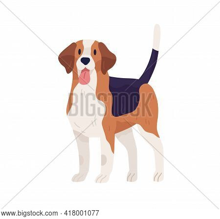 Hunting Dog Of Beagle Breed. Multicolor Doggy Standing With Tongue Hanging Out. Friendly Pet With Ra