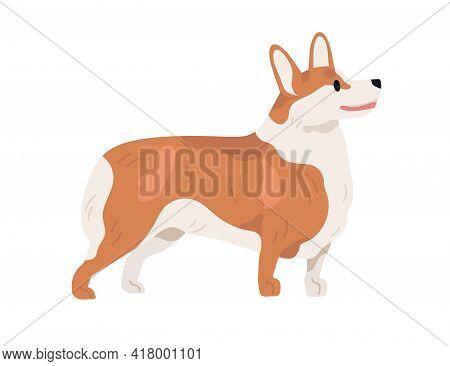 Pembroke Welsh Corgi Profile. Short-legged Dog Of Herding Breed. Small Adorable Doggy Standing On Wh