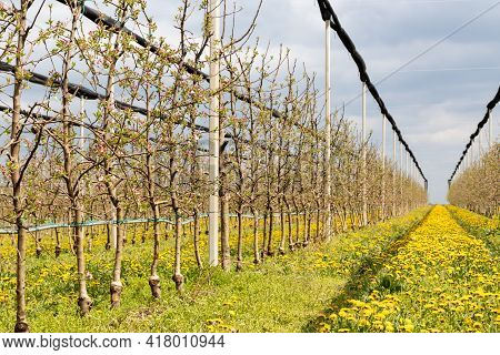 Dandelion Flowers Between Rows In An Apple Orchard. Six Years Old Golden Delicious Trees In The Appl