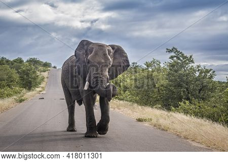 African Bush Elephant In Middle Of Safari Road In Kruger National Park, South Africa ; Specie Loxodo