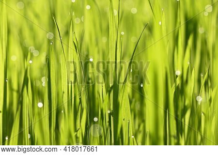 Dew Drops Close Up On Spring Grass