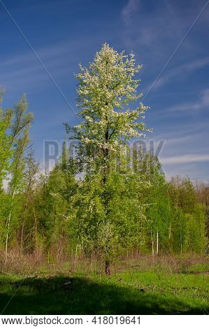 Blooming Wild Pear Tree On The Background Of Deciduous Forest On A Sunny Day, Rural Landscape. Sprin