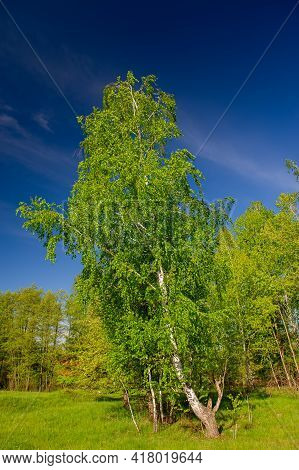 Birch Tree Covered With Fresh Green Leaves On The Background Of Deciduous Forest On A Sunny Day, Rur