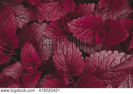 Dark Purple Natural Background Texture, Saturated Leaves Close Up.