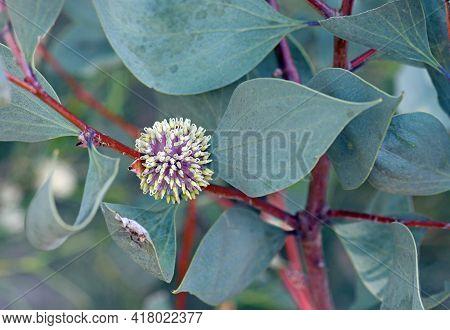 Cream And Mauve Globular Flower And Large Blue Green Leaves Of The Australian Native Sea Urchin Hake