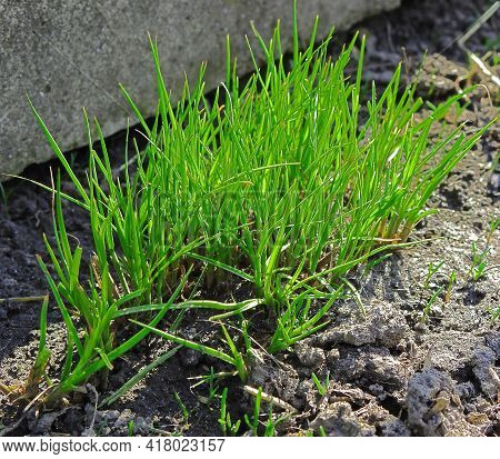 Grass. Fresh Green Spring Grass, Background, Close-up. The Sun. Soft Focus. Abstract Nature Spring B