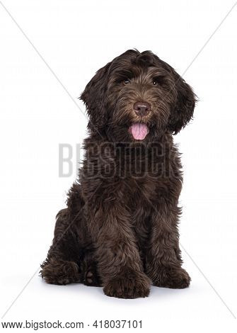 Adorable Dark Brown Cobberdog Aka Labradoodle Pup, Sitting Up With Mouth Slightly Open And Tongue Ou