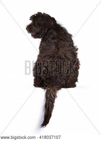 Adorable Dark Brown Cobberdog Aka Labradoodle Pup, Sitting Backwards On Edge With Tail Hanging Dowb.