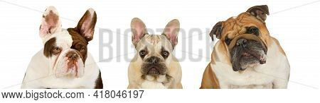 Portrait Collage Of English Bulldog And French Bulldog With Puppy Isolated On A White Background