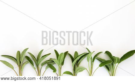 Salvia Officinalis Border. Leaves Isolated On White Background. Copy Space