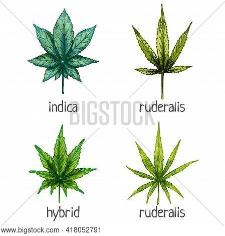 Set Marijuana Different Leaf. Hybrid, Indica, Ruderalis, Sativa. Vector Color Vintage Hatching Illus