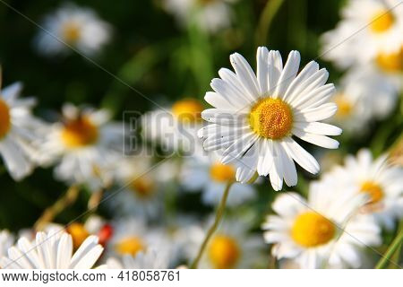 Daisies In The Garden Pink Rose On White Beautiful White And Pink Rose With Background Nature New Pi