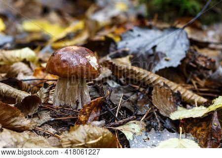 Mushroom In Forest Porcino, Bolete, Boletus.white Mushroom On Green Background.natural White Mushroo