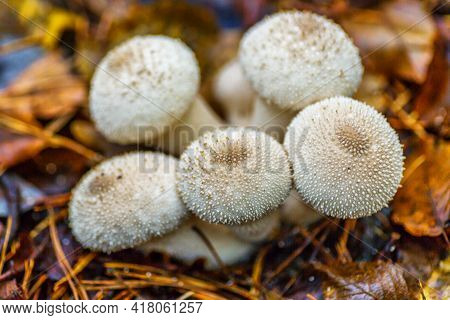 Close-up Of A Fungus Called Common Puffball (lycoperdon Perlatum)common Puffball, Warted Puffball, G