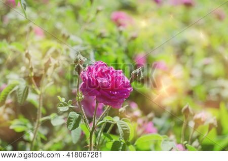 Unfocused Natural Background, With A Rose In A Sunny Garden. Selective Focus