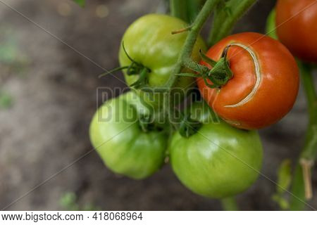 Large Green And Red Tomatoes With Cracks On The Branch. Insufficient Water For Irrigation, Drought C