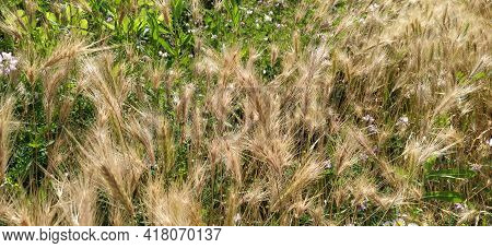 Hordeum Murinum Aka Wall Barley Or False Barley Grass Plant.
