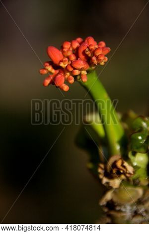Twig Carrying Buds Of Buddha Belly Plant Or Jatropha Podagrica At Republic Day Flower Show In Lalbag