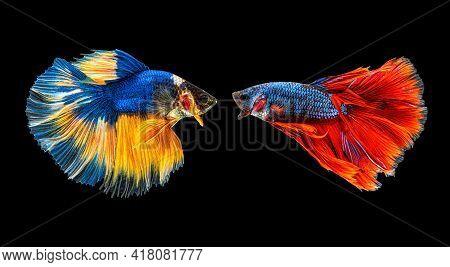 Moving Beautiful Of Multicolor Siamese Betta Fish Or Half Moon Betta Splendens Fighting Fish In Thai