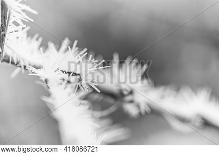 Winter Nature Closeup With Hoarfrost And Snow. Seasonal Closeup, Leaves, Plants With Frozen Ice, Art