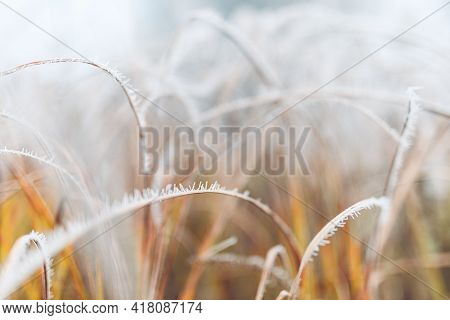 Frozen Plants In Winter With The Hoarfrost. Turquoise Winter Plants In The Rays Of Sunlight. Winter