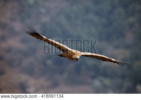 The Cape griffon or Cape vulture (Gyps coprotheres) flies on a background of mountains. A large African vulture lands in Drakensberg in the morning light.