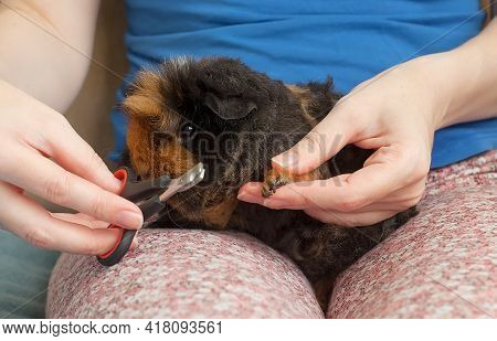 Pruning Claws Of Guinea Pig At Home. Fixing One Claw On Front Paw Of The Guinea Pig During Circumcis