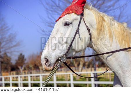 White Stallion In The Nature . Muzzle White Horse In Nature Background. Close Up. Portrait Of A Whit