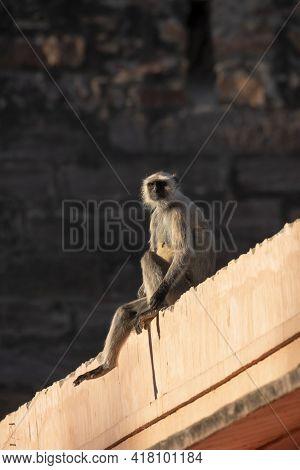 Gray Or Hanuman Langurs Or Indian Langur Or Monkey During Jungle Safari At Ranthambore National Park