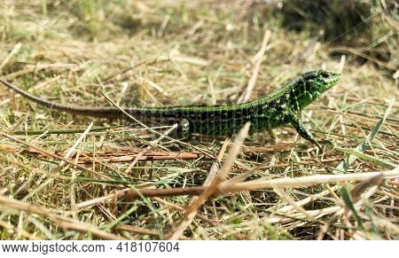 Photography On Theme Beautiful Green Scales To Body Lizard Sitting In Dry Grass