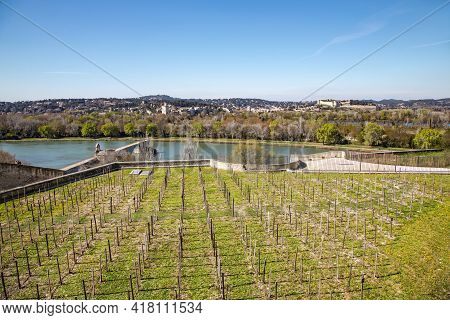 Young Vineyard On The Banks Of The Rhone River Overlooking The Pont Saint Benezet Or Pont De Avignon