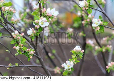 Blooming Apple Tree In Spring Time In Garden And Black Soil On Background. Close Up Shot Of White Fl