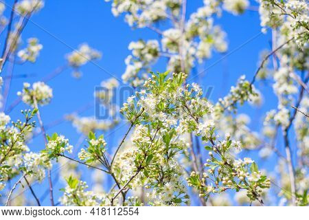 Spring Blossom Flower On Bright Blue Sky Background. Macro Cherry Blossom Tree Branch With Bees