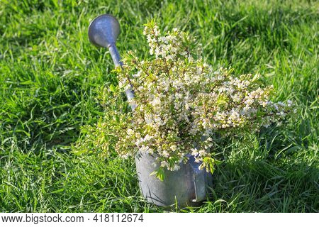 Bouquet Of Delicate White Cherry Blossoms In A Watering Can In The Village Garden. Cherry Blossom Tr