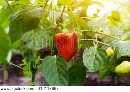 Red Bell Pepper On A Branch In A Greenhouse In Sunlight. Growing Fresh Juicy Red Pepper On Branch In