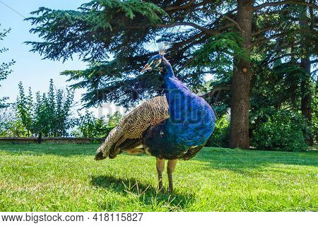 Male Of Peacock Showing His Rich Plumage During His Walk In Garden