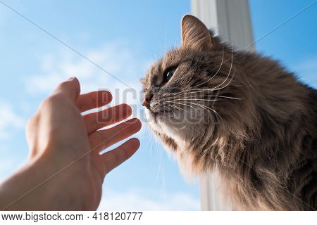 Fluffy Cat Sniffing Human Hand, Close-up. Gray Green-eyed Cat Of The Siberian Breed Indoors Against
