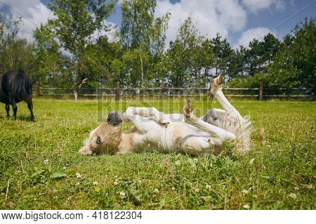 Funny Foal Of Miniature Horse Lying On Back In Grass Inside Paddock During Spring Dunny Day.