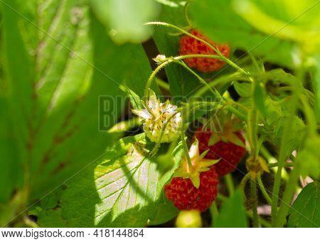 Wild Strawberries Ripen On A Bush In The Grass