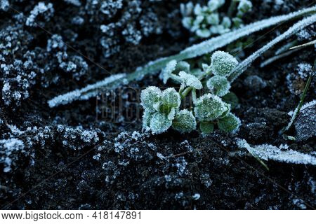 Green Leaves Covered With Hoarfrost On Ground, Closeup