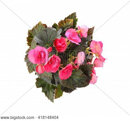 Beautiful Blooming Pelargonium Flower In Pot On White Background, Top View