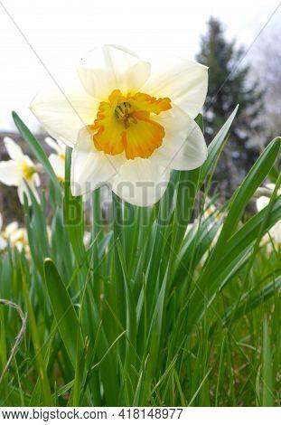 Flowering Daffodil. Blossoming Daffodil In Green Garden